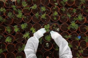 A worker tends to cannabis plants at a plantation near the northern Israeli city of Safed, in this June 11, 2012 file picture.  REUTERS/Baz Ratner/Files